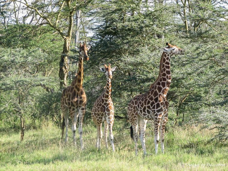 safari-nakuru-girafa-kenya