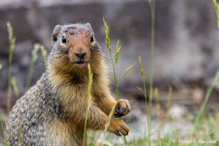 fauna-canada-esquirol