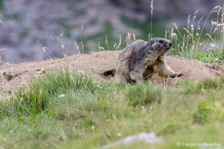 la marmota és part de la fauna d'ordesa