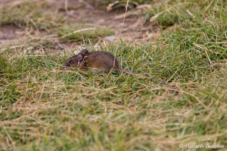 ratoli de bosc a ordesa i mont perdut