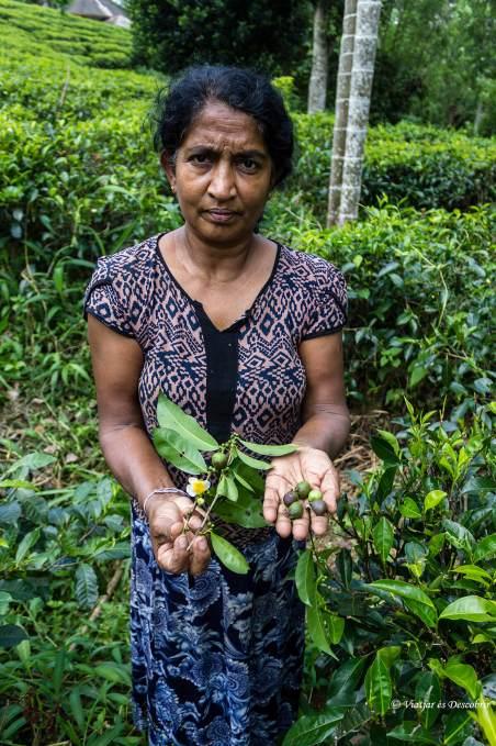 tea plucker a sri lanka