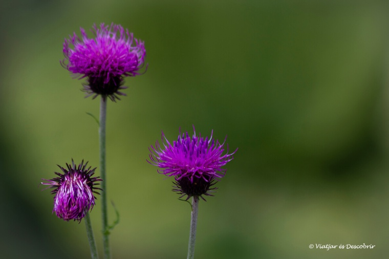 flors durant l'exursió a la vall dels set llacs