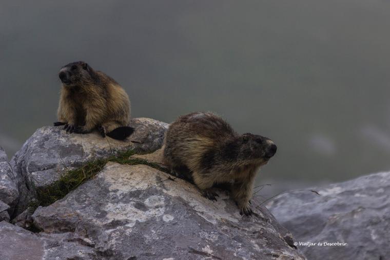 marmotes durant l'excursió per eslovenia