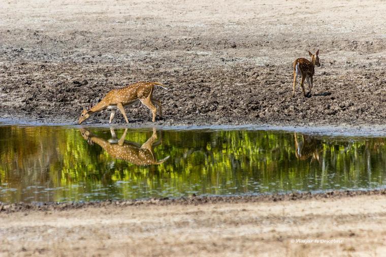 els cervols abunden durant els safaris a sri lanka com a wilpattu