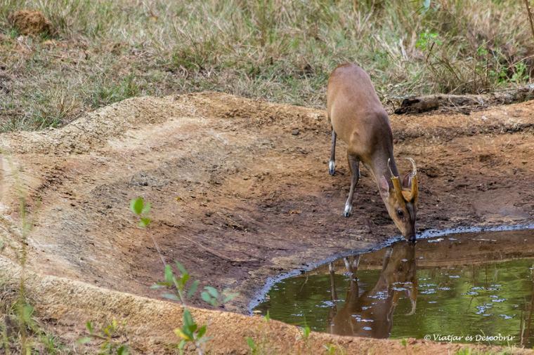 sovint es veuen cervols a sri lanka durant els safaris
