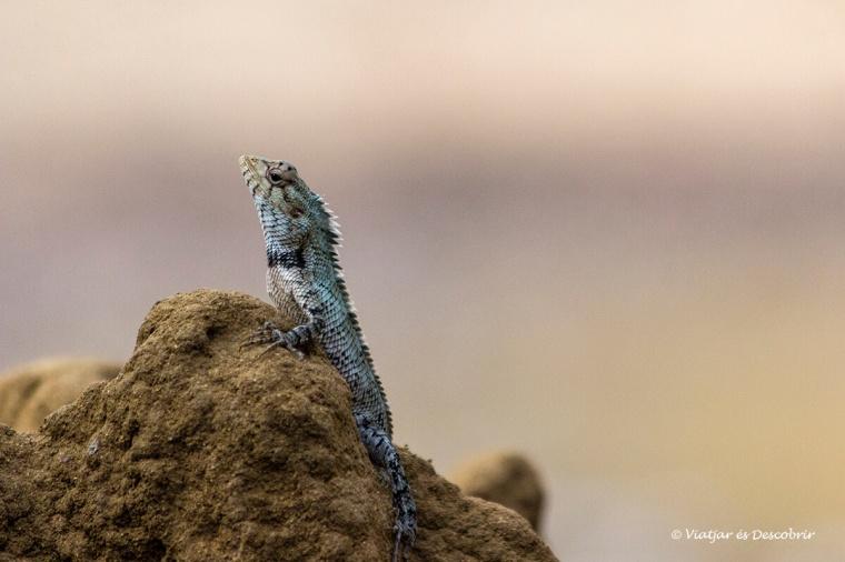 exemple de fauna que es pot veure en un safari a wilpattu