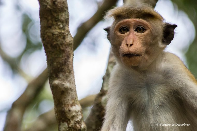els monos s'acumulen a algunes zones del wilpattu