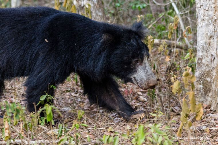 els ossos destaquen durant els safaris al wilpattu national park