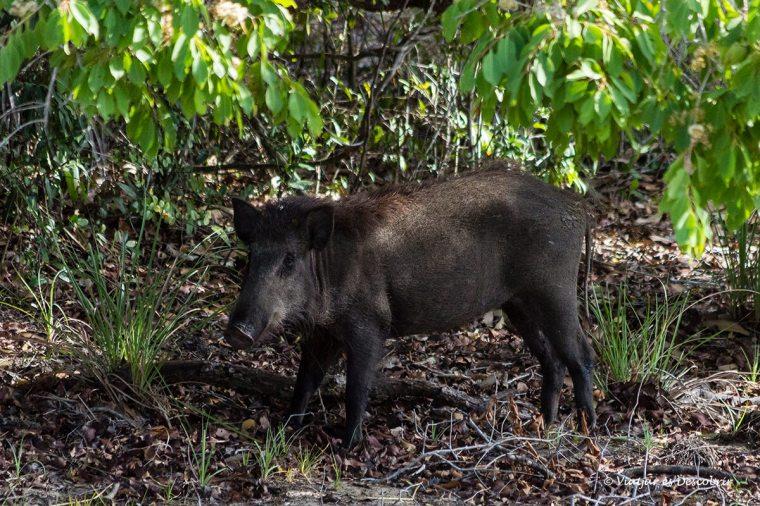 veiem porcs sanglars durant el safari al Wilpattu National Park