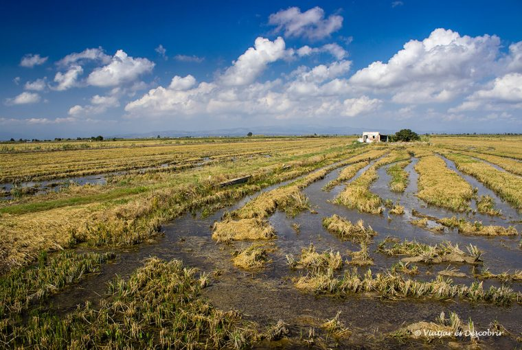 Els camps d'arròs dominen el Delta de l'Ebre