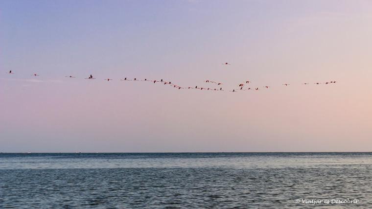 Els flamencs volen durant la posta de sol al Delta de l'Ebre