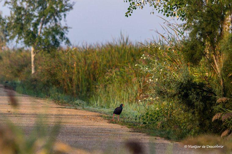 Els ocells sobretot ens sorprenen durant el matí i el vespre