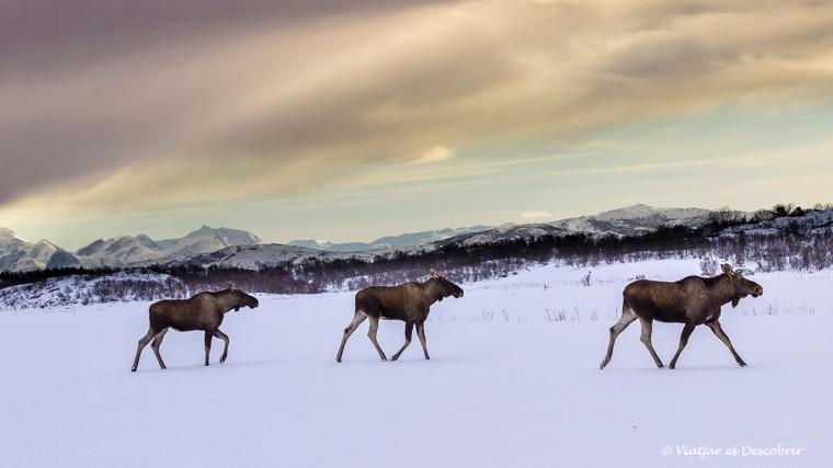 un grup de moose a les Illes Lofoten