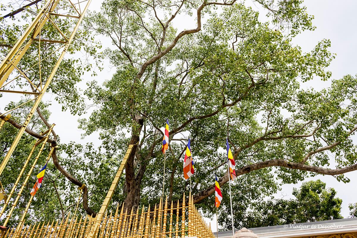 El bodhi tree a Anuradhapura, Sri Lanka, és molt sagrat.