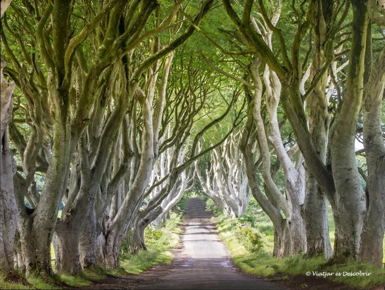 el bosc de dark hedges
