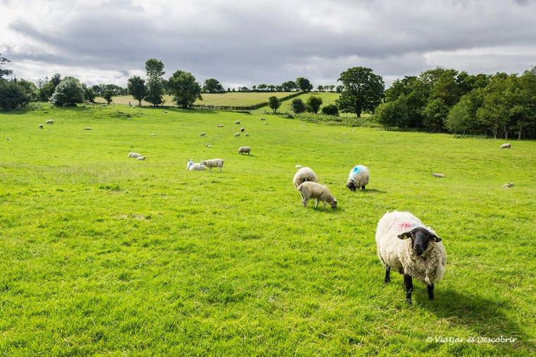 ovelles a un camp de irlanda