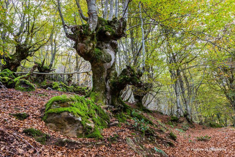 bosc carlac vall d'aran