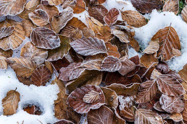fulles de tardor gelades a la vall d'aran