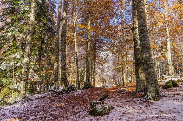 bosc tardor a la vall d'aran