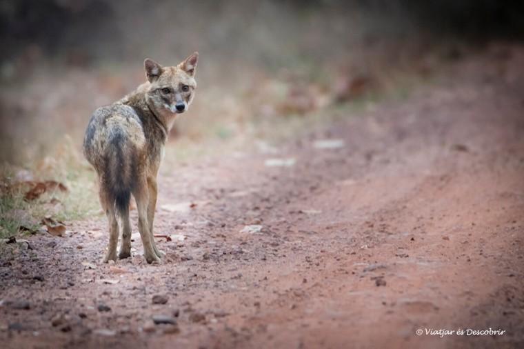 fauna al parc nacional pench durant el viatge a l'india