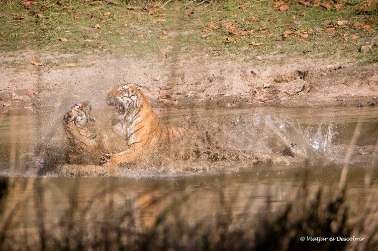 tigre de bengala lluitant a una bassa a l'india