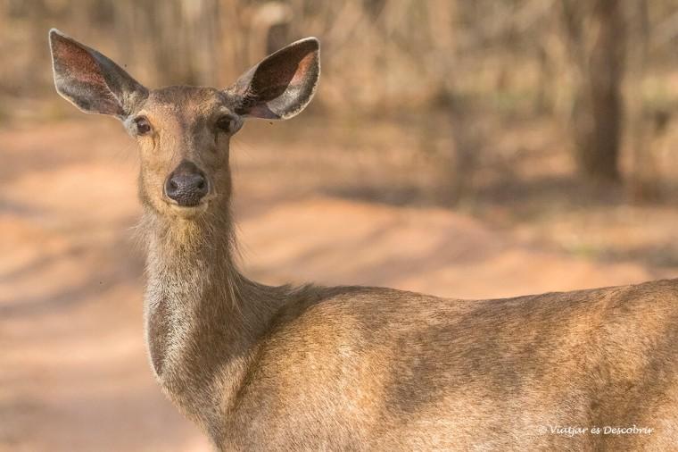 primer pla d'un cervol sambar a kanha
