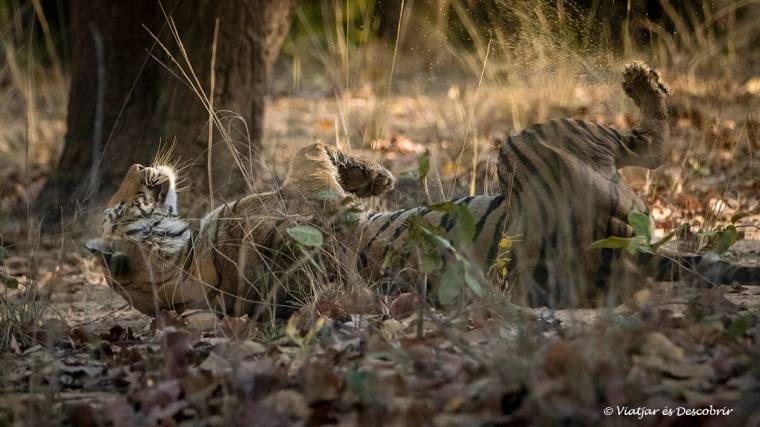 els primers tigres del safari a bandhavgarh a l'india