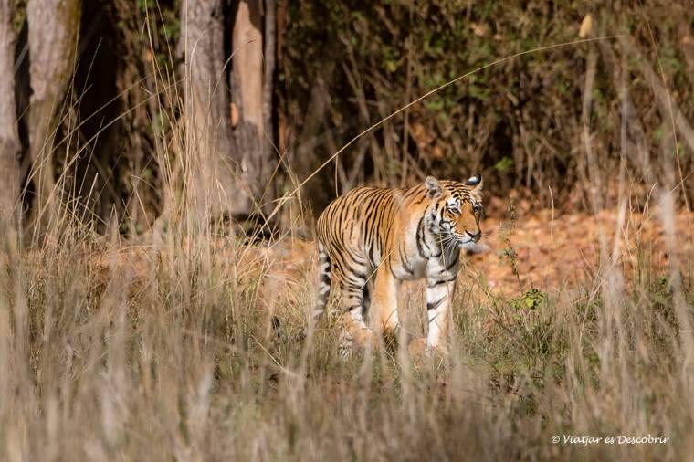el primer tigre de bengala a kanha durant el viatge a l'india