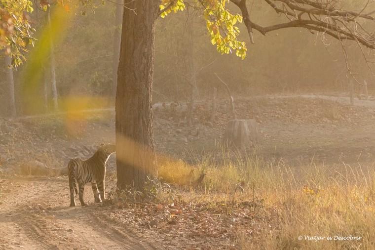 mentre surt el sol veure un tigre de bengala és preciós