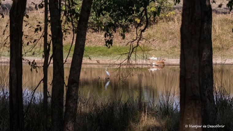 un tigre de bengala durant un safari a india