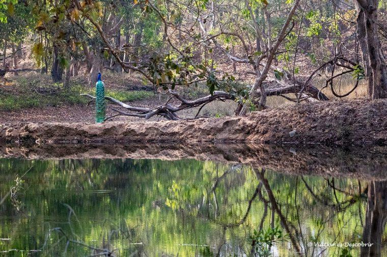 els safaris del viatge a l'india van ser grans oportunitats per fotografiar fauna en llibertat