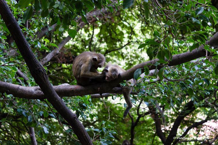 macacos durant la pujada a les coves dambulla a sri lanka