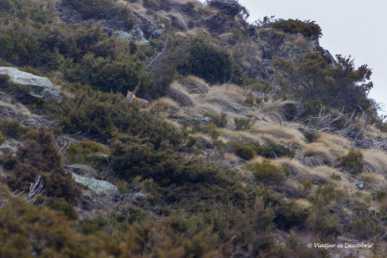 zorro en la cerdanya francesa