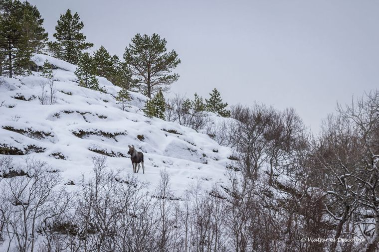 alce en un paisaje nevado de las islas lofoten