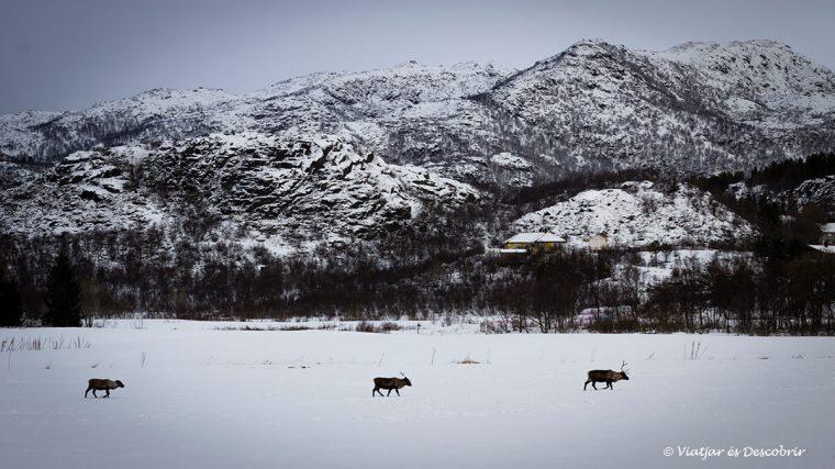 grupo de renos en las islas lofoten